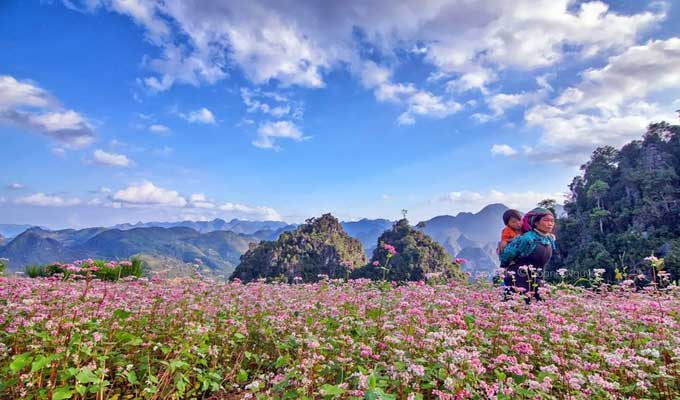 Ha Giang: Tam Giac Mach flower festival 2015 to come