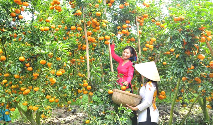 Lai Vung tangerine farms ready for visitors during Tet