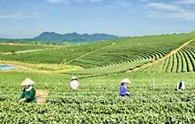 Central Highlands province to host Tea Culture Festival 2008